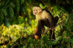 Colombian white-faced capuchin Cebus capucinus, Colombian white-headed capuchin or Colombian white-throated capuchin. New World monkey of the family Cebidae royalty free stock photography