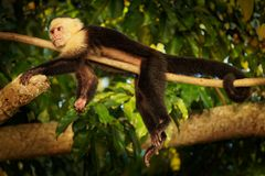 Colombian white-faced capuchin Cebus capucinus, Colombian white-headed capuchin or Colombian white-throated capuchin, New World. Monkey of the family Cebidae stock photos