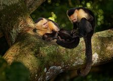 Colombian white-faced capuchin Cebus capucinus, Colombian white-headed capuchin or Colombian white-throated capuchin. New World monkey of the family Cebidae stock photography