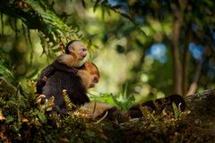 Colombian white-faced capuchin Cebus capucinus, Colombian white-headed capuchin or Colombian white-throated capuchin. New World monkey of the family Cebidae stock images