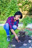 Colombian woman planting basil plant in garden soil Royalty Free Stock Photos
