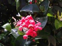 Colombiana 2 de Flor Imagem de Stock