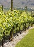 Colombie-Britannique de vignes de vignoble images stock