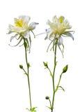 colombin Fleur de Columbine Fleur de Columbine d'isolement sur un whi Photo libre de droits