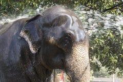 """COLOMBO SRI LANKA †""""Februari 10th, 2017: En elefant göras ren av en mahout Arkivbilder"""