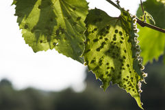Colomerus vitis. Eriophyes (colomerus vitis). Grapes desease. Attack on new leaves Royalty Free Stock Image