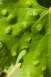 Colomerus vitis. Eriophyes (colomerus vitis). Grapes desease. Attack on new leaves Stock Photo