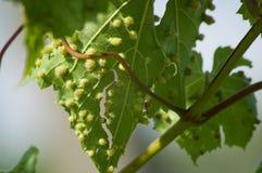 Colomerus vitis Royalty Free Stock Photography