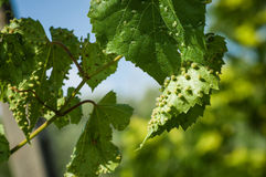 Colomerus vitis. Eriophyes (colomerus vitis). Grapes desease. Attack on new leaves Stock Images
