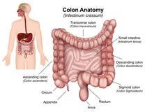 Colon anatomy  illustration on white background royalty free illustration