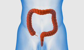 Colon. It is 3D illustration of Colon Stock Photography