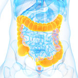 The colon. Medical 3d illustration of the colon Royalty Free Stock Photography
