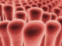 Colon villi Stock Photography