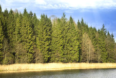 Colonade of Common Scots pine by the lake. Common Scots pine (Pinus sylvestris Stock Image