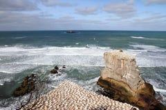 Colonia 2 de Gannet de la playa de Muriwai Imagenes de archivo