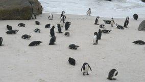 Colonia africana del pingüino en la costa costa meridional de Suráfrica almacen de video