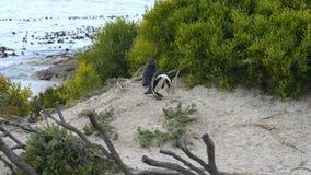 Colonia africana del pingüino en la costa costa meridional de Suráfrica almacen de metraje de vídeo