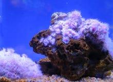 Colonia anemoner på en undervattens- rev Arkivfoton