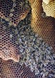 Colonia de abejas salvajes Fotos de archivo