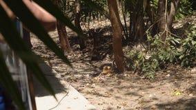 Colonia de animales salvajes Los coatis divertidos del Nasua están buscando la comida en la tierra entre las hojas selva gruesa 4 metrajes