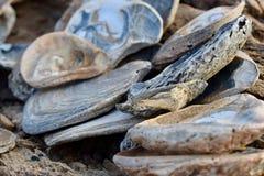 Colonia de cáscaras del mar en la bahía de Swansea foto de archivo libre de regalías