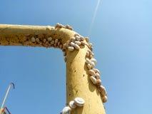 colonia de caracoles en un tubo de gas del hierro Los caracoles toman el sol en el sol Acoplamiento de caracoles Imágenes de archivo libres de regalías