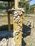 colonia de caracoles en un tubo de gas del hierro Los caracoles toman el sol en el sol Acoplamiento de caracoles Fotos de archivo