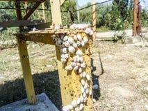 colonia de caracoles en un tubo de gas del hierro Los caracoles toman el sol en el sol Acoplamiento de caracoles Fotos de archivo libres de regalías