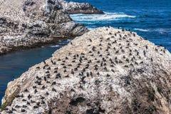 Colonia de cormoranes del ` s de Brandt Fotografía de archivo libre de regalías