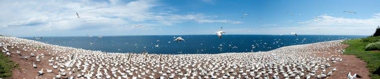 Colonia de gannet norteño Imágenes de archivo libres de regalías