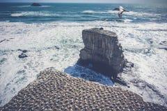 Colonia de Gannet por el mar Foto de archivo libre de regalías