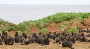 Colonia de grajos de jóvenes los osos del mar Fotografía de archivo