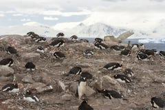 Colonia de grajos de Neko Harbor, la Antártida Foto de archivo libre de regalías