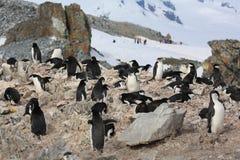 Colonia de grajos del pingüino de Chinstrap en la Antártida Fotos de archivo