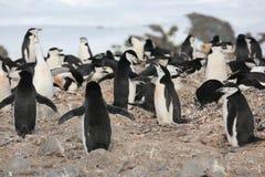 Colonia de grajos del pingüino de Chinstrap en la Antártida Imagen de archivo