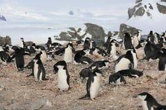 Colonia de grajos del pingüino de Chinstrap en la Antártida Foto de archivo