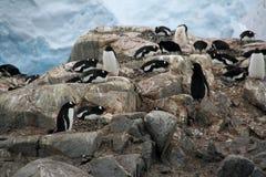 Colonia de grajos del pingüino de Gentoo Imagenes de archivo