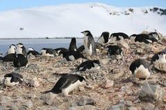Colonia de grajos del pingüino de Chinstrap en la Antártida Fotos de archivo libres de regalías