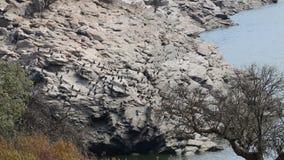 Colonia de grandes cormoranes a lo largo del río el Tajo, España metrajes