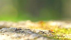 Colonia de hormigas que caminan en la tierra almacen de metraje de vídeo