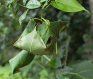 Colonia de hormigas rojas Imagen de archivo libre de regalías