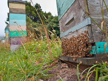 Grupo de abejas en la entrada de una colmena Fotos de archivo