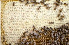 Colonia de la abeja en los panales Apicultura y miel el conseguir colmena Foto de archivo libre de regalías
