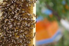 Colonia de la abeja en los panales Apicultura y miel el conseguir colmena Fotos de archivo