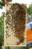 Colonia de la abeja en los panales Apicultura y miel el conseguir colmena Imagenes de archivo