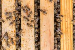 Colonia de la abeja en la primavera después del invierno frío Fotos de archivo