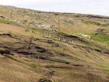 Colonia de la jerarquización de pingüino de Magellanic, magellanicus del Spheniscus, isla de receptores acústicos, Falkland Islan Imagen de archivo