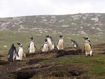 Colonia de la jerarquización de pingüino de Magellanic, magellanicus del Spheniscus, isla de receptores acústicos, Falkland Islan Imagen de archivo libre de regalías