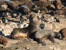 Colonia de leones marinos patagones Fotos de archivo libres de regalías