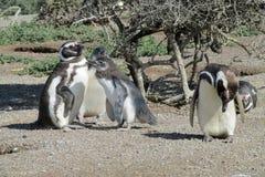 Colonia de los pingüinos de Magellan Imagen de archivo libre de regalías